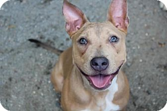Terrier (Unknown Type, Medium)/American Pit Bull Terrier Mix Dog for adoption in Charlotte, North Carolina - Lilac
