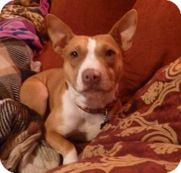Basenji Mix Dog for adoption in Irmo, South Carolina - Miss Gravy
