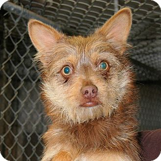 Terrier (Unknown Type, Small) Mix Dog for adoption in Red Bluff, California - NIEGEL