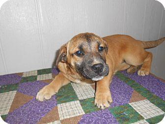 Shepherd (Unknown Type)/Labrador Retriever Mix Puppy for adoption in East Hartford, Connecticut - PandoraADOPTION PENDOING