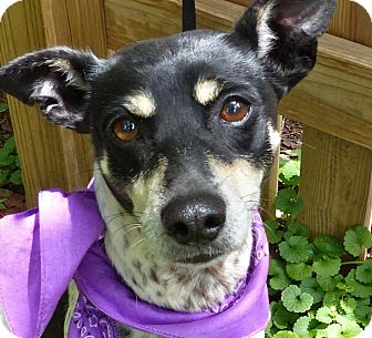Rat Terrier Mix Dog for adoption in Baton Rouge, Louisiana - Tammany