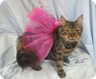 Domestic Mediumhair Cat for adoption in Elizabeth City, North Carolina - Sue Ann