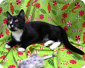 Domestic Shorthair Kitten for adoption in Greensboro, North Carolina - Jeffry