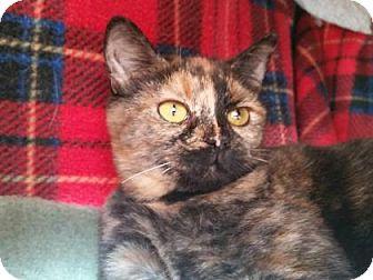 Domestic Shorthair Kitten for adoption in Mountain Center, California - Sara
