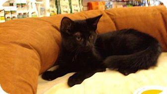 Domestic Shorthair Cat for adoption in Burlington, Ontario - Midnight