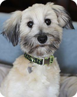 Wheaten Terrier Mix Dog for adoption in San Pedro, California - Chloe