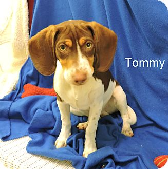 Beagle Mix Puppy for adoption in Slidell, Louisiana - Tommy