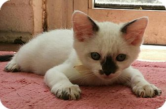 Siamese Kitten for adoption in Savannah, Georgia - Venus