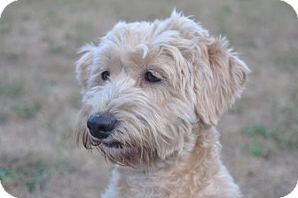 Poodle (Miniature)/Terrier (Unknown Type, Small) Mix Dog for adoption in Tumwater, Washington - Amy