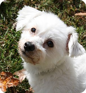 Poodle (Toy or Tea Cup)/Maltese Mix Dog for adoption in Greensboro, North Carolina - Jordie