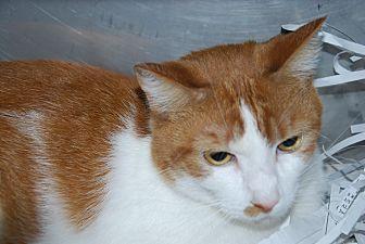 Domestic Shorthair Cat for adoption in Pottsville, Pennsylvania - Peaches