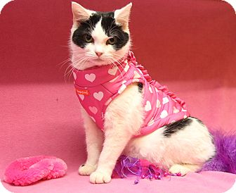 Domestic Shorthair Cat for adoption in Marietta, Ohio - Stella (Spayed) - Update