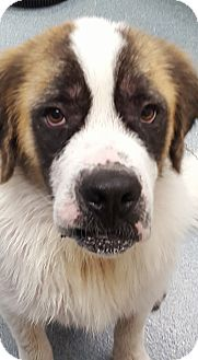 St. Bernard Dog for adoption in Sudbury, Massachusetts - Imogene