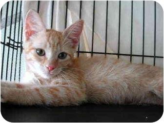 Domestic Shorthair Kitten for adoption in Fort Lauderdale, Florida - Charlie