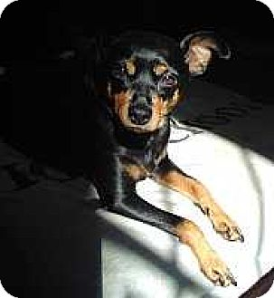Miniature Pinscher Dog for adoption in Malaga, New Jersey - Lola