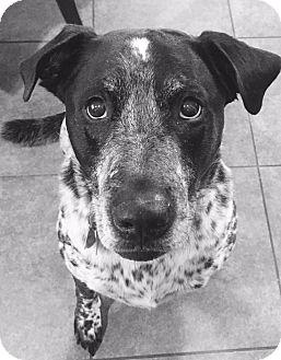 Labrador Retriever/Cattle Dog Mix Dog for adoption in Brattleboro, Vermont - Apollo
