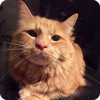 Maine Coon Cat for adoption in Long Beach, New York - Biaggio