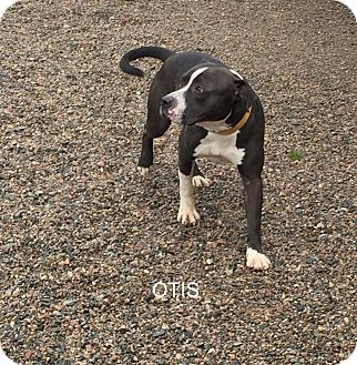 Pit Bull Terrier Mix Dog for adoption in Hibbing, Minnesota - OTIS