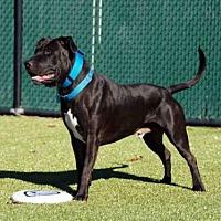 Pit Bull Terrier Dog for adoption in Hampton Bays, New York - NIKO