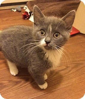 Domestic Mediumhair Kitten for adoption in Plainville, Connecticut - Macey
