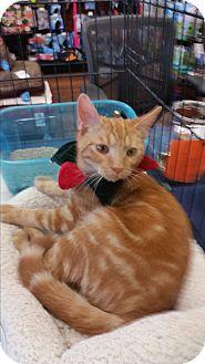 Domestic Shorthair Cat for adoption in Fairborn, Ohio - Rudy
