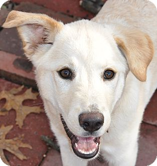 Golden Retriever/Labrador Retriever Mix Puppy for adoption in Bedminster, New Jersey - Sage