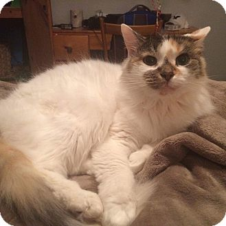 Domestic Mediumhair Cat for adoption in Lindsay, Ontario - Ellie
