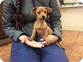 Dachshund Mix Puppy for adoption in Dublin, California - Phillip