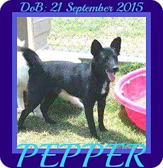 Schipperke/Collie Mix Dog for adoption in New Brunswick, New Jersey - PEPPER