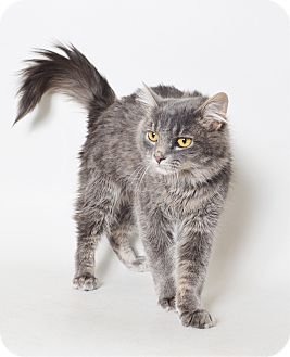 Domestic Mediumhair Cat for adoption in Fruit Heights, Utah - Colton