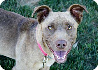 Corgi/Pit Bull Terrier Mix Dog for adoption in Yorba Linda, California - Elliott - GREAT dog!  29 lbs!