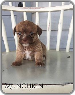 Chihuahua/Terrier (Unknown Type, Small) Mix Puppy for adoption in DeForest, Wisconsin - Munchkin