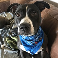 American Pit Bull Terrier/Australian Cattle Dog Mix Dog for adoption in Austin, Texas - Jake