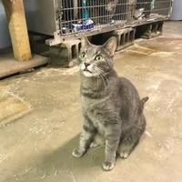 Domestic Shorthair/Domestic Shorthair Mix Cat for adoption in BATH, New York - Rusty