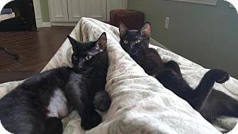 Domestic Shorthair Kitten for adoption in ROSENBERG, Texas - Kerry