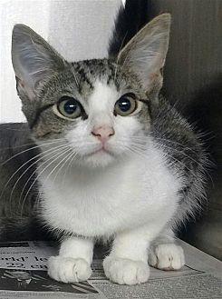 Domestic Shorthair Kitten for adoption in Atlantic City, New Jersey - Blossom