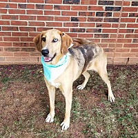 Adopt A Pet :: Cannon Bell - Lexington, NC