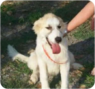 Great Pyrenees Dog for adoption in Kyle, Texas - Harry
