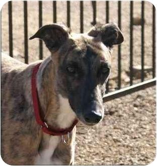 Greyhound Dog for adoption in Vail, Arizona - Millie