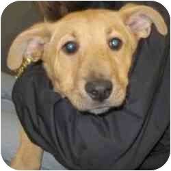 Labrador Retriever/German Shepherd Dog Mix Puppy for adoption in Berkeley, California - Gina