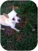 Chihuahua Dog for adoption in Cocoa, Florida - Max