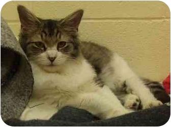 Domestic Longhair Cat for adoption in Lake Charles, Louisiana - Linda
