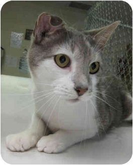 Domestic Shorthair Cat for adoption in Greenville, North Carolina - Gilbert
