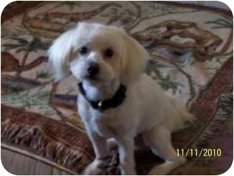 Lhasa Apso/Maltese Mix Dog for adoption in West Los Angeles, California - Bojo