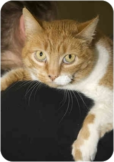 Domestic Shorthair Cat for adoption in Tangent, Oregon - Peaches