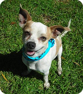 Chihuahua/Jack Russell Terrier Mix Dog for adoption in El Cajon, California - Bogey
