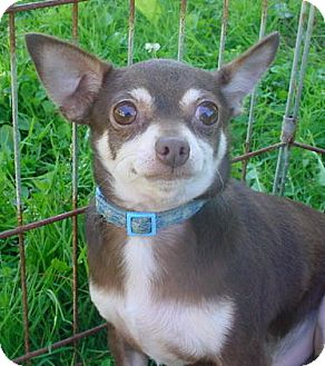 Chihuahua Dog for adoption in Metamora, Indiana - Whale