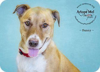 Labrador Retriever Mix Dog for adoption in Phoenix, Arizona - Sunny