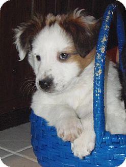 Australian Shepherd Mix Puppy for adoption in Naperville, Illinois - Scout