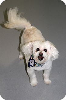Maltese Mix Dog for adoption in Muskegon, Michigan - Lucky-Updated